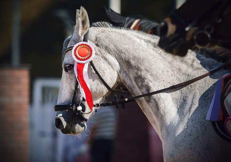 Beautiful grey winning race horse